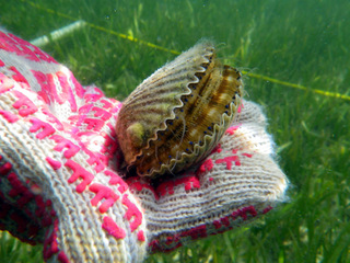 Gulf County bay scallop season to open Sept. 23